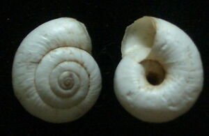 landsnail Pseudoexeophila bathtytera 13-14mm F+++//F++