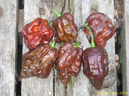 Chocolate 7 Pot Douglah Organic Pepper 20 Seeds
