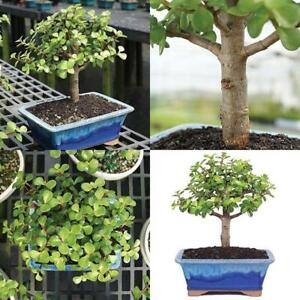 Genial Image Is Loading Dwarf Jade Bonsai Tree Plant Indoor Or Office
