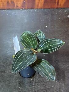 Ludisia-discolor-ruby-Jewel-Orchid-Orchidee-Orchidea-Orquidea-Orchidee
