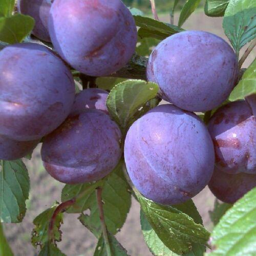 Obstbaum Pflanze Pflaumenbaum Wangenheims Frühzwetsche Zwetsche hohe Erträge