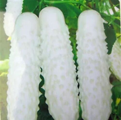 20pcs White Cucumber Seeds Cucumis Sativus Vegetable Fruit Home Garden Plant