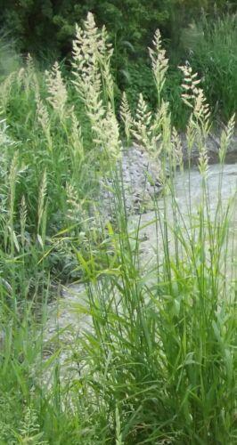 \\@  Phragmithes communis Schilf  Pflanzen // winterhart 3 Pflanzen ◕‿◕ @////