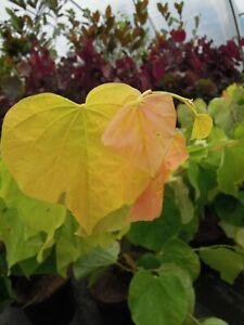 Cercis-canadensis-Rising-Sun-gelber-Judasbaum-80-90cm-pinker-Fruehjahrsblueher