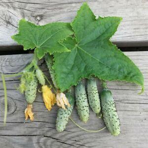 20 Graines BIO de Cornichons Vert Petit de Paris, potager permaculture, seed