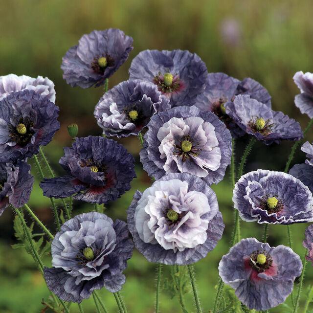 100 Seeds - Amazing Grey Poppy Seeds