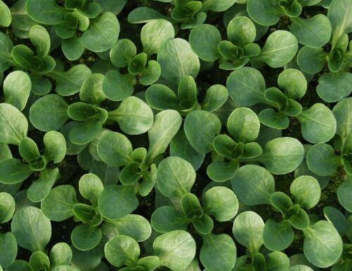 ORGANIC-verdura-mais insalata VIT 2500 semi-LARGE