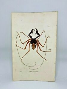 Crab-Spider-1783-RARE-SHAW-amp-NODDER-Hand-Colored-Copper-Engraving