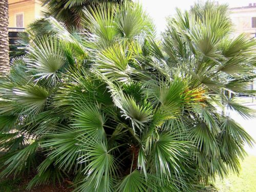 CHAMAEROPS HUMILIS 10 semi seeds Palma nana Palma di San Pietro