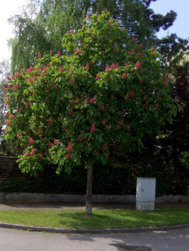 rote Rosskastanie 170-180cm Kastanienbaum Aesculus carnea Briotii