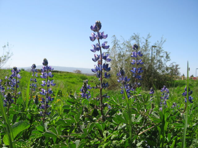 SeedRanch Sweet Blue Lupine Seed 1 Lb.