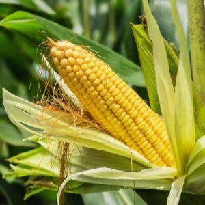 Incredible Sweet Corn Seeds USA Untreated Organic Non GMO Yellow Vegetable 2021