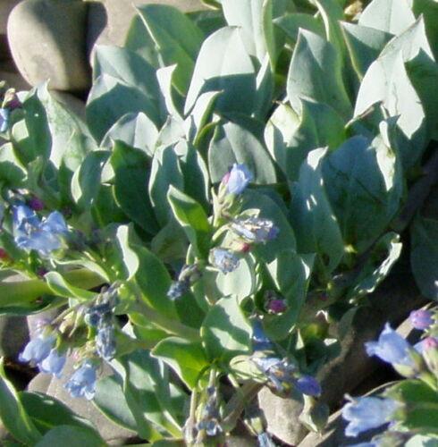 Oysters Taste Oysterleaf Seeds,Mertensia Maritima Austernblatt Seeds