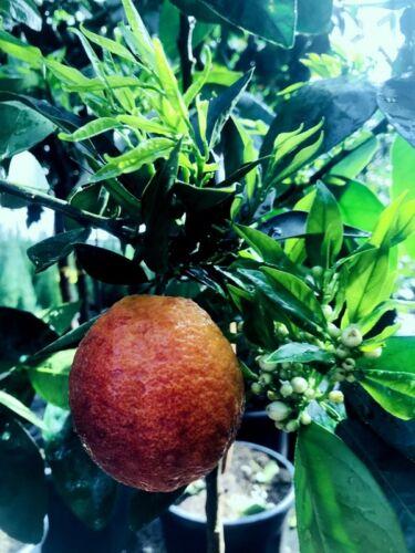 Citrus sinensis Moro Blutorange Moro 120 cm Halbstamm