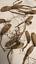 Bulbes d/'ail des ours frais X65 Allium ursinum ail sauvage perpetuel BIO