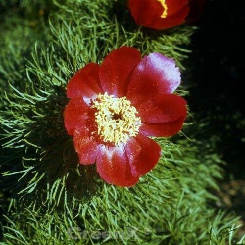 Rete foglio PEONIA-Paeonia tenuifolia