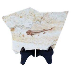 Pesci-Fossili-Reali-Dalla-Cina-Occidentale-di-Liaoning-150-Milioni-di-Anni-H9X6
