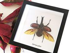 Bug rhino beetle Taxidermy Framed real Australian beetle display BAXG