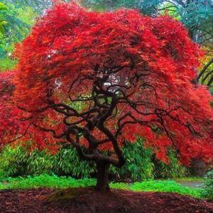 Red Dragon Flame Japanese Maple Tree (Amur)  Bonsai Seeds (20 Seeds) US Seller