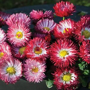 BELLIS-DAISY-BUSY-LIZZY-IMPATIENS-BEDDING-TRAILING-HANGING-PLANTS-PERENNIAL