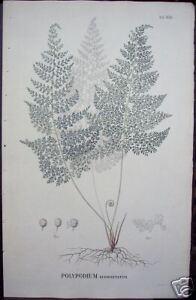 Karl-Ludwig-Blume-034-Polypodium-Subdigitatum-034-1829