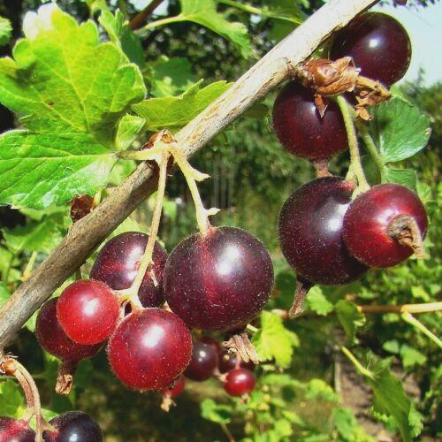 Ribes nidigrolaria /'JostaBerry/' Caseille Josta