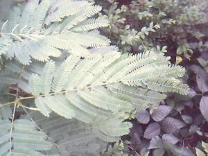 """Plaines Mimosa Desmanthus illinoensis 50 exotique Graines /""""tout seulement 1 euros/"""""""