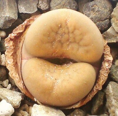 Lithops hookeri v. elephina C92, rare living stones exotic mesembs seed 50 SEEDS