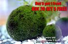 Giant Marimo Moss ball~2 inch- Live aquarium plant java fish tank FREE SHIP!