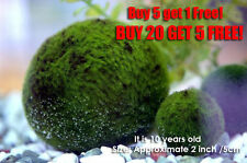 Giant Marimo Moss ball 2 inch- Live aquarium plant java fish tank SHIP