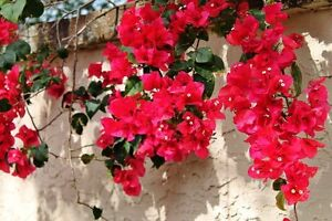 Offer Up San Diego >> Bougainvillea - 'San Diego Red' | eBay