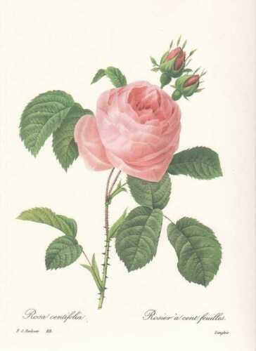 Rosa centifolia FAKSIMILE Pierre Joseph Redoute 1833 Rose Rosen