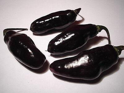 Samen Chili BLACK NIGHT - milder schwarzer Laternenchili