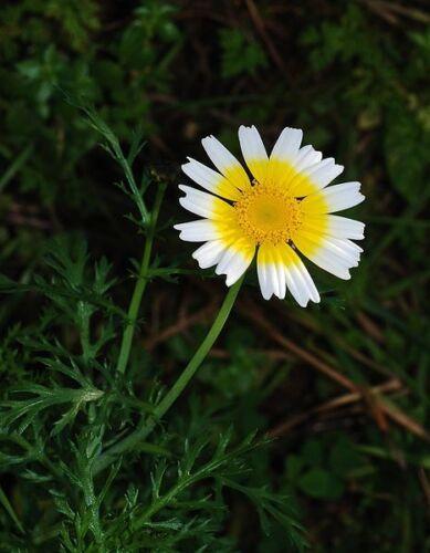 1000 GARLAND CROWN DAISY Chrysanthemum Flower Seeds