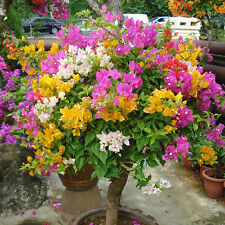 100PCS Bougainvillea Bonsai 100 Real Seed Beautiful Flower for Garden Potted