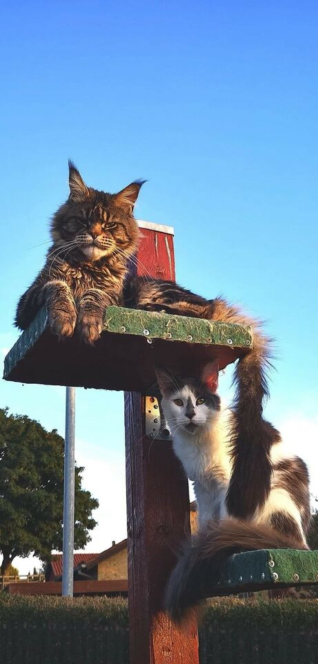 Maine Coon, hunkilling, 5 mdr.