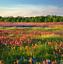 Wild-Scented-Bee-Cottage-Garden-Grass-Seed-Free-Perennial-Plant-Mix-Flower-Seeds Indexbild 3