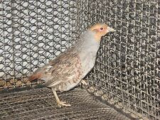 12+ Hungarian partridge hatching eggs, pheasant,chukar, quail shipping now.