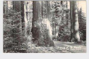 RPPC REAL PHOTO POSTCARD CALIFORNIA REDWOODS AVENUE OF THE GIANTS