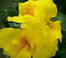 3 Bright Yellow Canna Lily Richard Wallace Rhizomes With Leaves