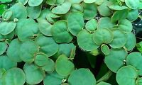 15+ Red Root Floater Live Freshwater Aquarium Plant Free Usa Shipping No Cali