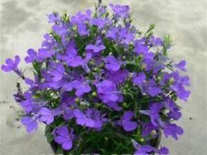 Lobelia Riviera Midnight Blue 1000 Seeds Ebay