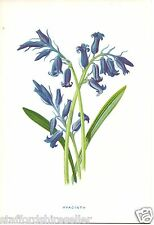 Vintage Wild Flowers Print Chromolithograph c1880: Hyacinth by F E Hulme
