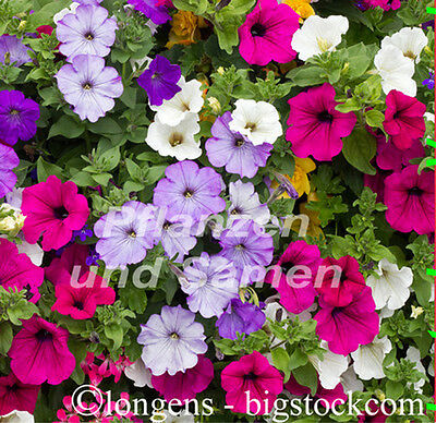 Petunien Mischung bunt 100 Samen Petunia fuer Balkon Garten Ampel Petunie