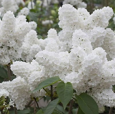 20 Seeds White Japanese Lilac (Extremely Fragrant) Flower Seeds for Home Garden