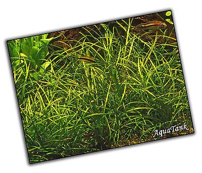 Carpeting Plants - Live Aquatic Aquarium Tropical Fish Tank Plants