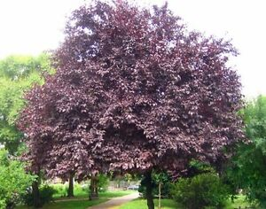 Image Is Loading Black Cherry Plum Tree 9l Pot Prunus Cerasifera