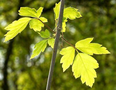1 de Plante Cornus Mas Corniolo Italien 15-30 cm Hauteur