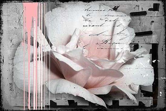 Micha Baker   Rose Rose Civière-image de L'écran Roses Fleurs