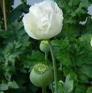 Papaver Somniferum - Persian White Poppy - 300 Seeds | eBay